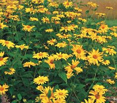 This genus is native to North America, and all its species are hardy and vigorous Sunflower look-alikes. The virtues of the genus are well represented by H. helianthoides scabra 'Summer Sun' ('Sommersonne'), a rugged 4-footer that starts blooming in June and produces great armloads of 3″ semidouble flowers until early September.  If you like clear, bright golden yellow Daisies, deep green foliage, and minimal care, you will like 'Summer Sun.' It thrives in full sun and well-drained, even…