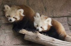 Baby Red Pandas Are The Cutest - BuzzFeed Mobile