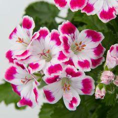 clavel | Gartneriet Tingdal - Pelargonium