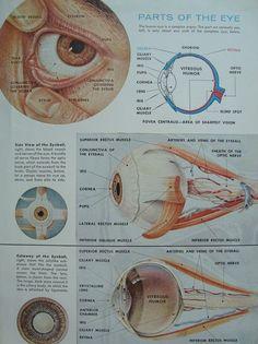 Human Eye Vintage Anatomy Original by iowajewel