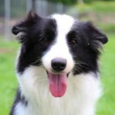 June a Border Collie up for adoption! Love & Second Chances San Ramon, CA 94582 melody@lovesecondchances.com http://www.lovesecondchances.com