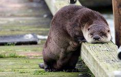 i wuv otters
