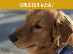 This is the story of Kingston #3507. He is one of the lucky ones. Our 100 Families for 100 Goldens is wrapping up soon and we still need your help to reach our goal of rescuing 100 Goldens from a fate worse than death. Please help us rescue more Goldens like Kingston and give them not only their second chance, but their only chance. Please click on the link to read Kington's story. #goldenretriever #rescuedog #adoptdontshop #rescuemissionoflove