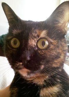 #mimsy #tortie #cat