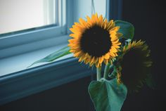 sunflower by Laura Pett Photography