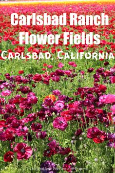 The Flower Fields at Carslbad Ranch in southern California burst with colourful ranunculus blooms in springtime #California #SanDiego #springflowers #ranunculus