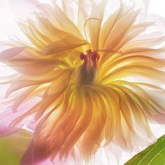 Golden Peony by judy stalus, via Flickr