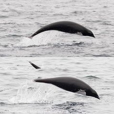 Notice the different silhouettes of these two northern right whale dolphins? The lower dolphin's abdomen is extended -- likely a pregnant female. Seen on yesterday's incredible whale watching trip!  Northern right whale dolphins are the only dolphins without a dorsal fin in the North Pacific Ocean.  #getonaboat #northernrightwhaledolphin #pregnant #montereybay #montereybaylocals - posted by Blue Ocean Whale Watch https://www.instagram.com/blueoceanwhalewatch - See more of Monterey Bay at…