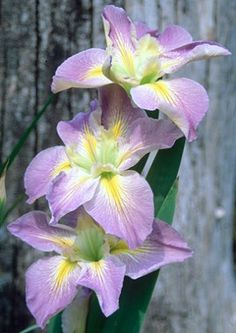 Handmaiden Louisiana Iris for sale buy Iris x louisiana 'Handmaiden'
