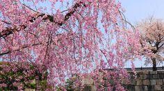 京都二条城の石垣と華やかな満開の枝垂れ桜