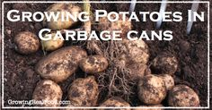 Growing Potatoes In Garbage Cans - Growing Real Food Making Food, Food To Make, Garbage Can, Down On The Farm, Fruit Garden, Real Food Recipes, Garden Ideas, Beans, Potatoes