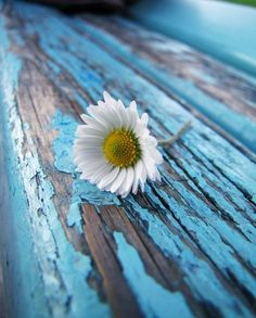 Blue paint peeling paint and a beautiful flower! AWESOME pic!