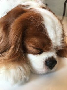 Cavalier King Charles Spaniel – Graceful and Affectionate King Charles Puppy, Cavalier King Charles Dog, King Charles Spaniel, Cute Dogs And Puppies, Baby Dogs, Doggies, Spaniel Puppies, Cute Little Animals, Dog Pictures