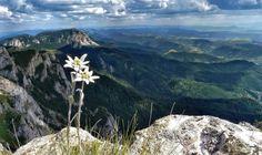 Kárpát-medence virágai - Havasi gyopár - Hagymás-hegység - Székelyföld - Erdély