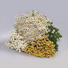 Tanacetum Assorted - A choice of infiller flower adding interest to your arrangements. A type of chrysanthemum with small button or daisy shaped flowers. Suitable for autumnal arrangements both wedding and corporate work. October Flowers, May Flowers, Fresh Flowers, Astilbe, Gypsophila, April Wedding, Summer Wedding, Crocosmia, Florist Supplies