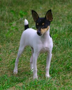 Dax at play. Jack Terrier, Rat Terrier Dogs, Toy Fox Terriers, Cute Puppies, Cute Dogs, Dogs And Puppies, Cute Puppy Pictures, Animal Pictures, Animals And Pets