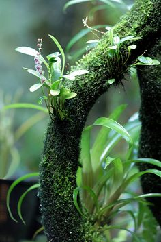 Stelis eublepharis var. rosea | Flickr - Photo Sharing!