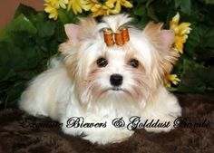 golden yorkies | Bambi, the Golddust Yorkie. Courtesy of Exquisite Biewer & Golddust.
