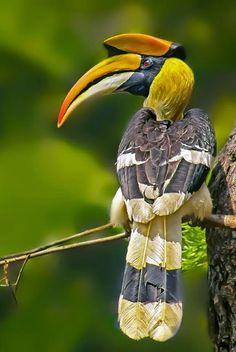 Great Indian Hornbill (Male)