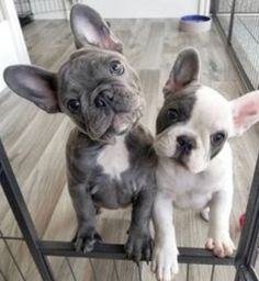 Bulldog Puppies For Sale, French Bulldog Puppies, Cute Dogs And Puppies, Baby Dogs, Pet Dogs, Frenchie Puppies, Corgi Puppies, Weiner Dogs, Doggies
