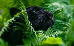 Animaux Panthère Noire Fond d'écran