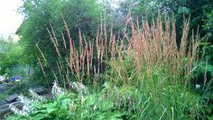 Prydgresset Calamagrostis x acutiflora 'Karl Foerster' er vakkert