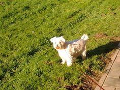 Maltezer - maltese ...Walk in the park..with my girl Kiki