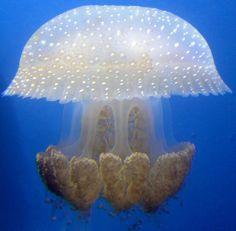 Jellyfish     ;)