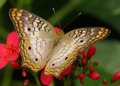 The White Peacock Butterfly - Its Diet and Other Facts