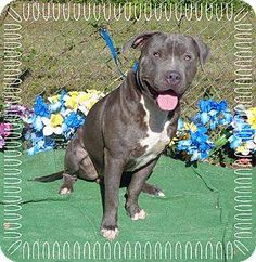 BLUE's Info... I am already neutered, purebred, and up to date with shots.  BLUE's Story... Blue is a handsome hunk o' love! He has a stunning blue coat and eyes that reach into your soul and make you feel so at ease. He was turned into the shelter on 5/13/15 by his previous owner and it is so heartbreaking to see how afraid he is of the noise and the unknown. The shelter is a scary place for a dog and we are hoping he can get out as soon as possible and into a loving home were he can be…
