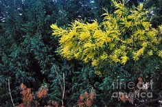 WATTYL - WILDFLOWER OF AUSTRALIA.. Prints & Greeting Cards available at:  http://kaye-menner.artistwebsites.com/featured/wattyl--wild-flower-of-australia-kaye-menner.html  -