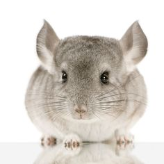 Chinchilla... I want one and I want to name it chilly!