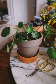 Bouturer une Centella Asiatica Ficus, Philodendron Monstera, Centella, Planting Flowers, Flower Gardening, Indoor Gardening, Green Ground, Bathroom Plants, Cacti And Succulents