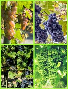 How to Grow Grapes -