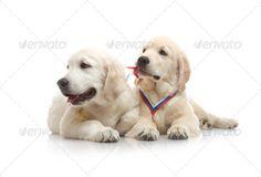 Three-Month Puppy Golden Retriever ,Shot In The Studio On A White Background