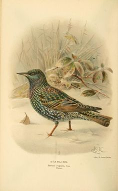 Starling, Coloured Figures of the Birds of the British Islands, Thomas Littleton Powys Lilford, Vol II, 1885-1897.