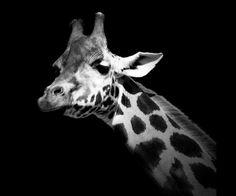 portraits noirs et blancs | ... pets font le buzz De magnifiques portraits d'animaux en noir et blanc