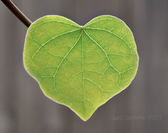 Heart Redbud Leaf Photograph  Green Leaf Green by StudioClaire