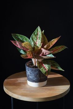 22 Stunning Aglaonema Varieties | Chinese Evergreen Types Persian Shield Plant, Indore Plants, Christmas Cactus Care, Chinese Evergreen Plant, Lucky Plant, Air Cleaning Plants, Red Plants, Plant Aesthetic, Backyard Garden Design