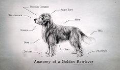 Dogagrams: Golden Retriever Infographic