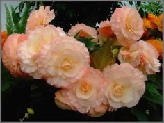 Beautiful Blooms 166 (Speak To Me Of Love)