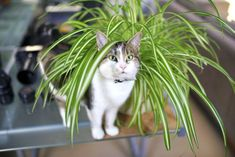 Spider plants are another variety that can thrive in low light while keeping your pets company. Theyre also known to sprout spider plant babies, which you can pluck off and propagate in water or soil (and then tell all of your friends youre a plant OBGYN).Sun: Medium to bright indirect sunlightWater: Weekly