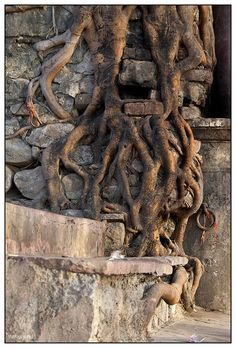 Persistent Tree Roots..... let your roots go deep