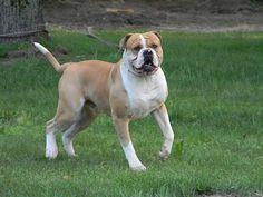 american bulldog   American Bulldog
