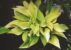 May Hosta - The gold form of H. 'June', very vigorous and same size as its parent. Topped with lavender flowers and can take a bit of sun.