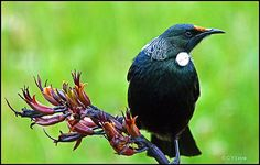 The Tui. A New Zealand native. Its sitting on a flower stem of a native flax plant. It eats the nectar from the flowers . Beautiful Songs, Beautiful Birds, Tui Bird, Flax Flowers, Flax Plant, Nz Art, Kiwiana, All Gods Creatures, Horse Pictures
