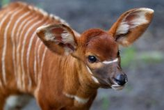 Baby bongo: Bongos are a type of antelope classified into two subspecies: the lowland bongo and the mountain bongo. Neither is percussive.