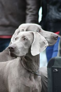 So majestic love the ghostly grey tone Blue Weimaraner, Weimaraner Puppies, Vizsla, Beagle, Dogs And Puppies, Doggies, Corgi Puppies, Cocker Spaniel, I Love Dogs