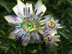 Passion Flower . . . Was thinking this would look cool in a bouquet .  . .