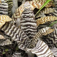 Zebrinus Earth Star, Black Guinea Wing, Cryptanthus
